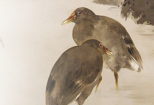 The Forgotten Bird and Flower Painter, Ohara Koson: Green Maple with Moorhens