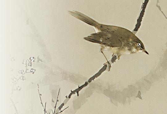本物のウグイス:しだれ梅に鶯